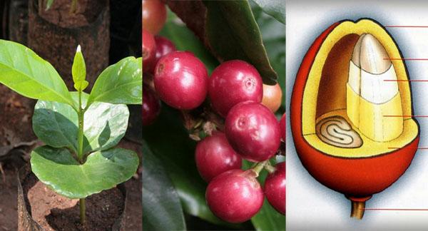 Kaffee-Pflanze, Kaffee-Kirsche